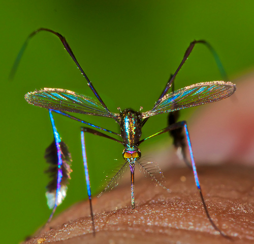 colorful mosquito