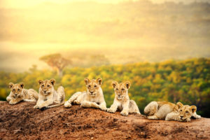 Sun in Leo on lion cubs